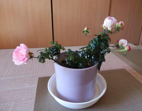 rose03a.JPG